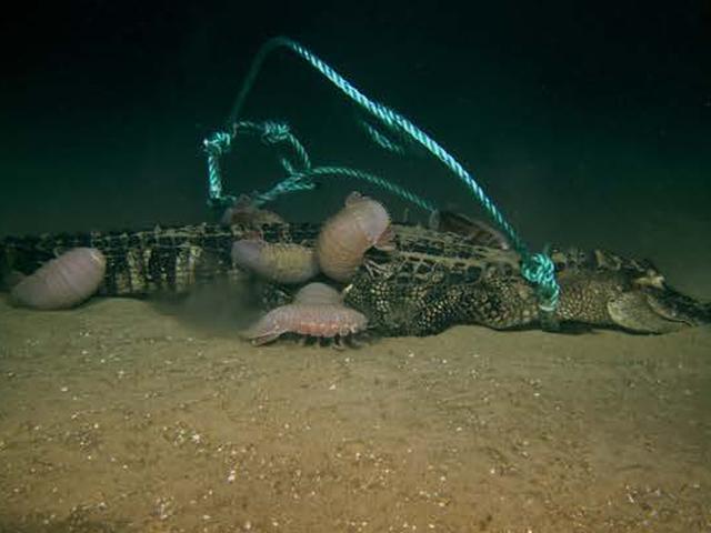 Νεκροί αλλιγάτορες έπεσαν στο κάτω μέρος της θάλασσας για ένα σπάνιο και νόστιμο γεύμα
