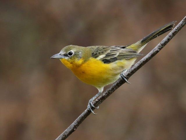 Extrêmement étrange hybride d'oiseau est de retour et cherche à os