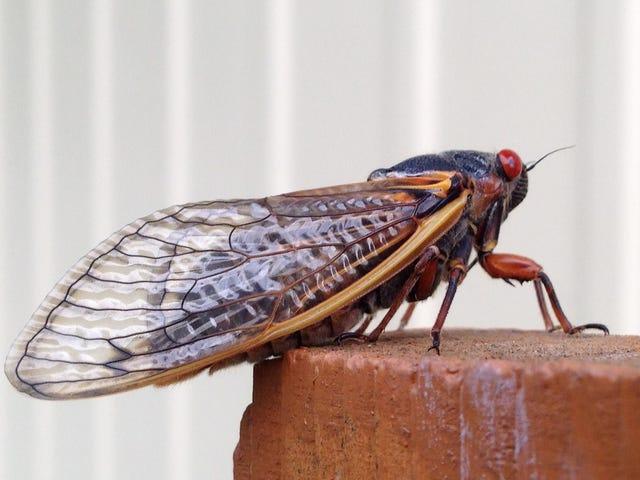 Трек рідкісних цикад з Cicada Safari App