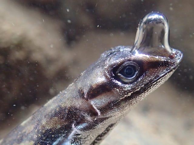 """Esta insólita lagartija puede """"respirar"""" bajo el agua a través de una burbuja de aire"""