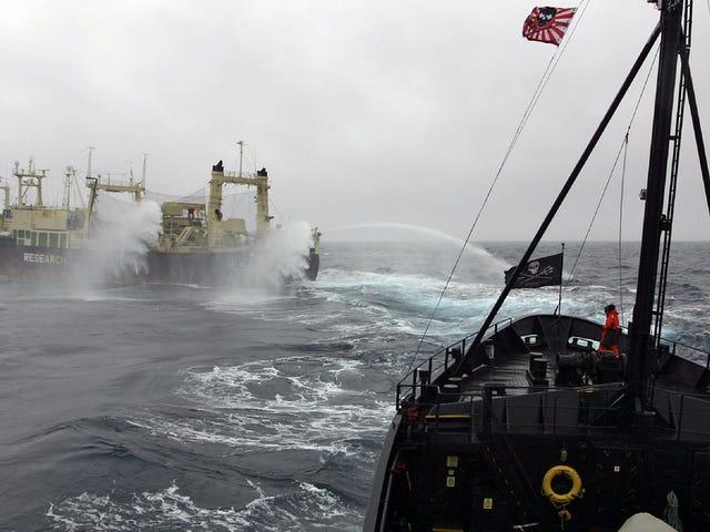 Japan's 'Scientific' Whaling Program Sucks