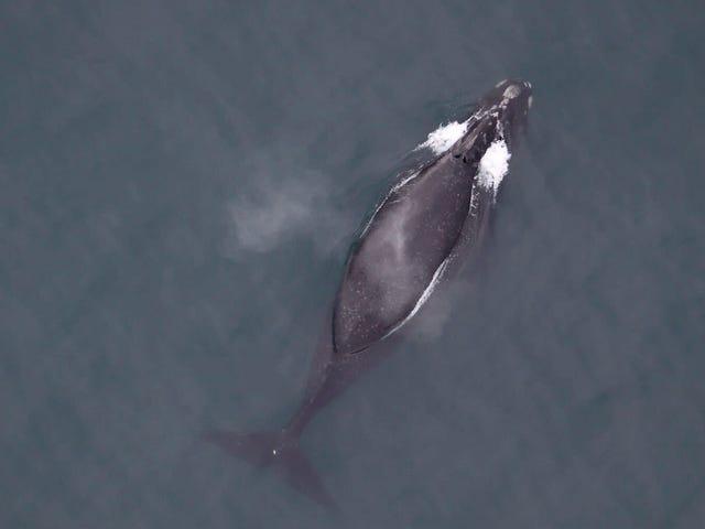 Песня редчайшего большого кита на Земле записана впервые