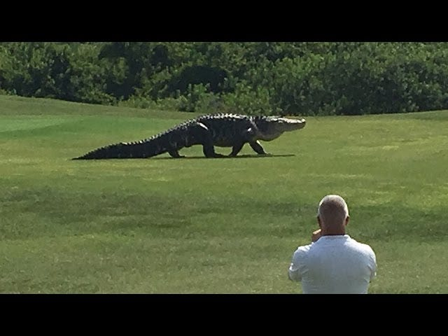Oh My God, Look At This Giant Fucking Alligator