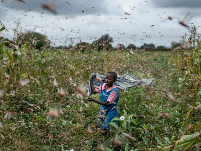 İklim Krizi Doğu Afrika'da Büyük Locust Sürülerinin Ortaya Çıkmasına Yardımcı Olabilir