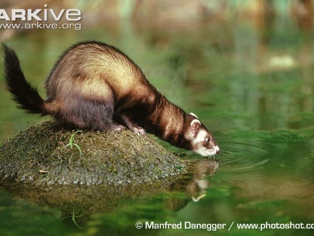 Monday Mustelid: The Complete Series