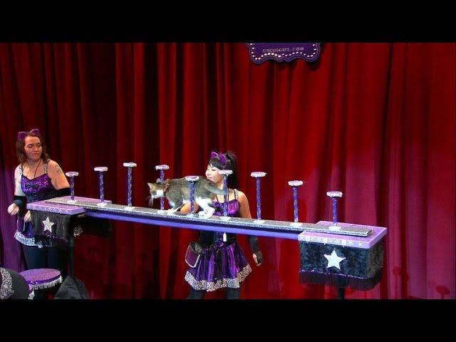 Ole hyvä ja nauti näistä kissan akrobaateista, jotka eivät anna hätää ollaan <i>Late Show</i>