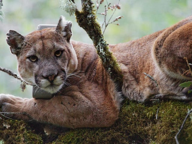 Toxic Coastal Fog Linked to Dangerously High Levels of Mercury in Mountain Lions