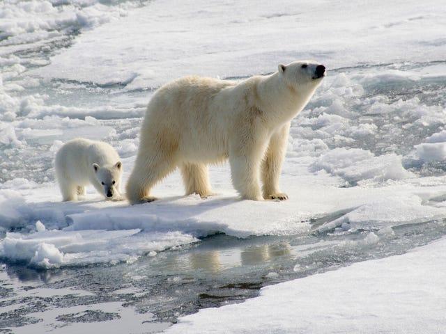 Bỏ đói những con gấu Bắc cực 'Besiege' Các nhà khoa học Nga trong một cảnh từ những cơn ác mộng thay đổi khí hậu tồi tệ nhất của tôi