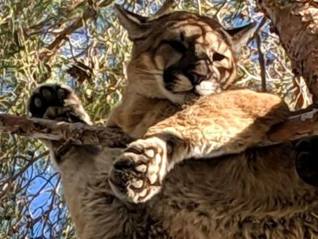 Firefighters 'Rescue' Perfectly Chill Mountain Lion From Tree
