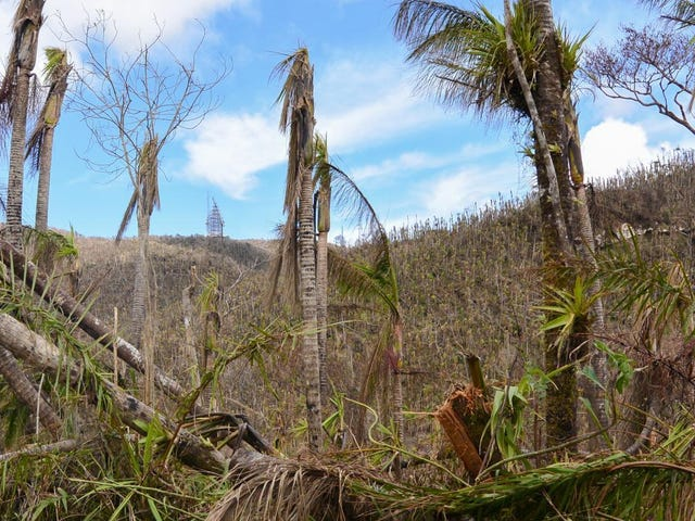 How 30 Million Dead and Dying Trees Are Reshaping Puerto Rico's Forests
