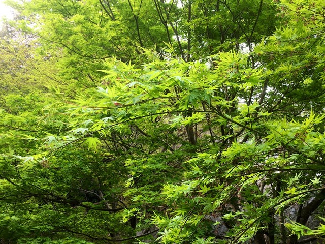 New Leaves. Osaka, Japan. By Brian Ashcraft | Twitter