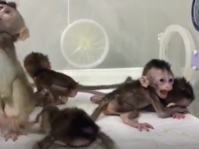 China's Latest Cloned-Monkey Experiment Is an Ethical Mess<em></em><em></em>