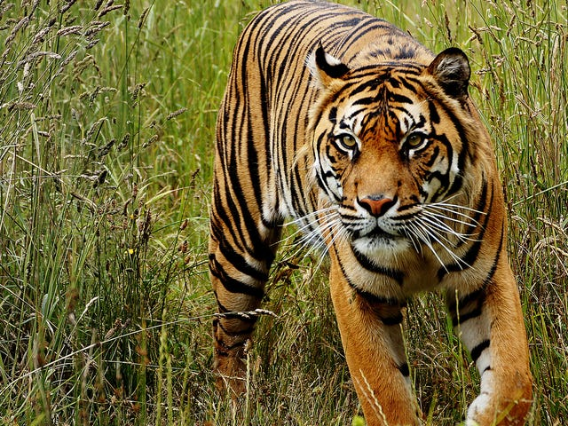 There Are More Tiger Types Than We Thought, NewGenetic Analysis Reveals