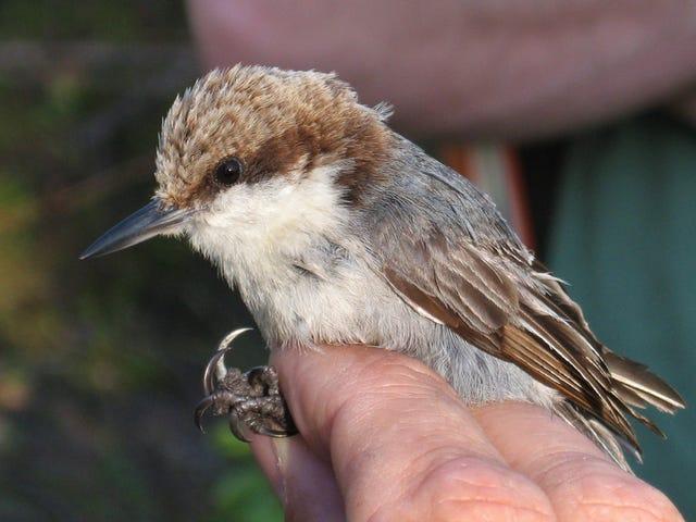 तूफान डोरियन मई विलुप्त होने के लिए एक गंभीर रूप से लुप्तप्राय पक्षी का कारण बना