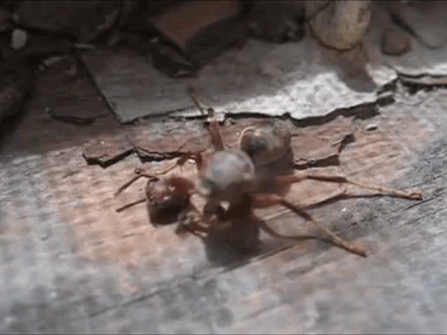 Graban a una avispa decapitada que consigue agarrar su cabeza en el suelo antes de emprender el vuelo