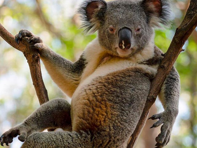 Do Ya Think This Koala's Sexy?