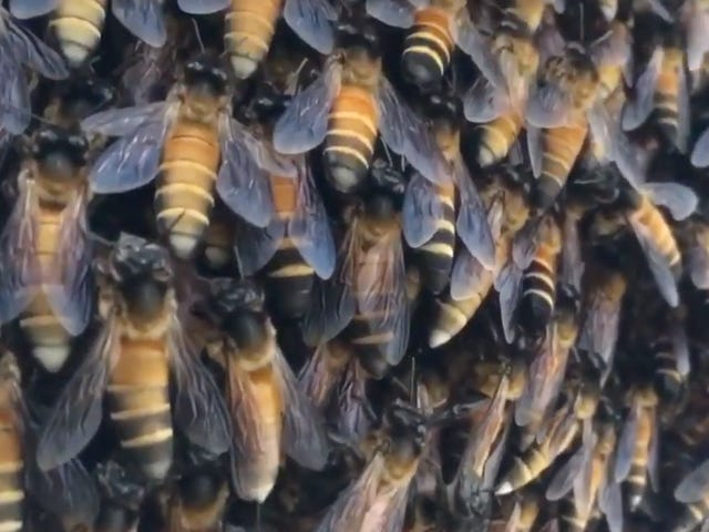 Honey Bees' Oddly Hypnotizing 'Shimmering' Is Actually aClever Defense