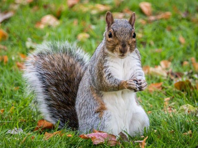 Le plus récent animal d'assistance au chaos sur les avions: les écureuils