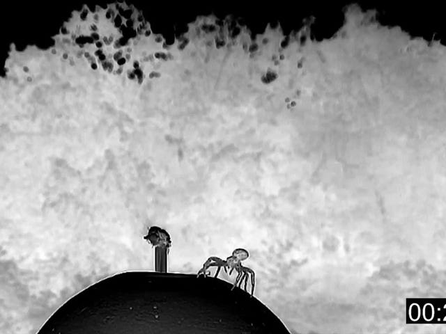 Watch Tiny Crab Spiders Take Flight With 10-Foot Silk Parachutes