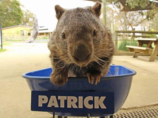 Facebook-fans sørger for døden av Patrick the Wombat