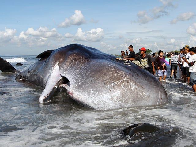 Aparece una nueva ballena muerta con más de 1.000 piezas de plástico en su estómago
