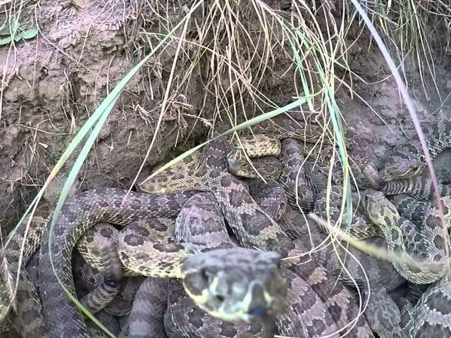 """가이 녀석은 방울뱀 똥에서 GoPro를 엿 본다, 뱀은 """"우리의 것입니다.""""라고 선포합니다."""