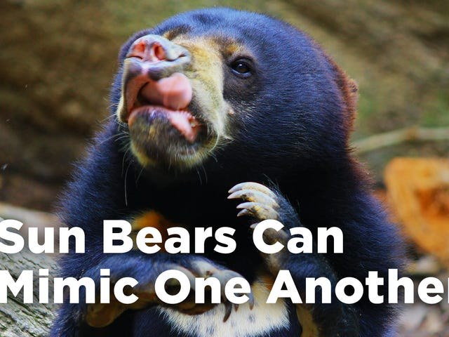 Surprise! Sun Bears, Like Dogs and Humans, Mimic Each Other's Faces