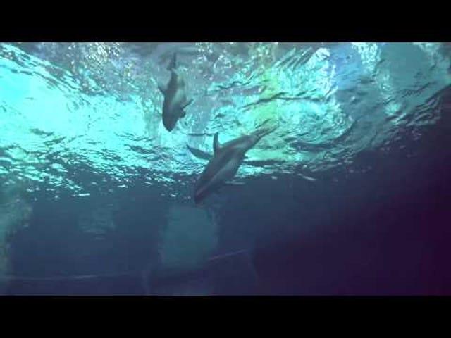 Dolphin Baby Tiny Shedd Aquarium Siap Menjadi Terkenal