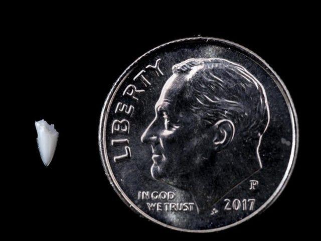 Hai-Biss-Rätsel 25 Jahre später gelöst dank Zahnpinzette vom Fuß