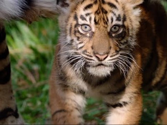 You're Gonna Flip Your Fucking Lid Over the San Diego Zoo's New Tiger Cubs