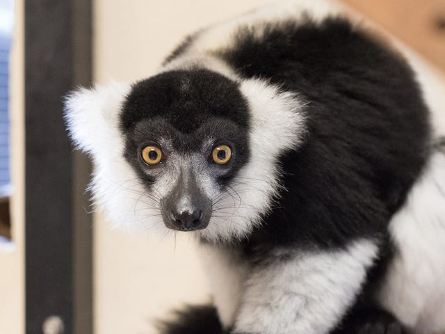 The World's Largest Captive Lemur Facility Is Bracing For Florence