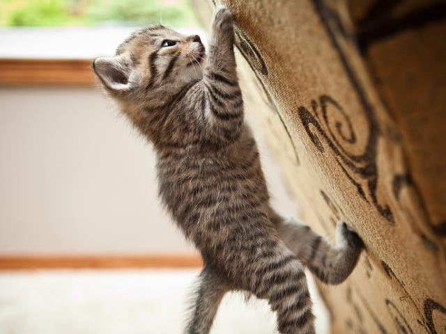 Just a strong cat doing some pull-ups, putting the rest of us to shame