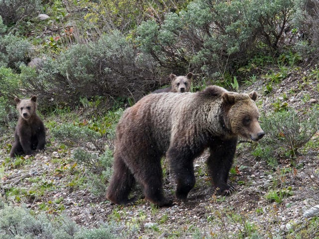 Wyoming's Grizzly Bear Hunt Won't Happen Without a Fight