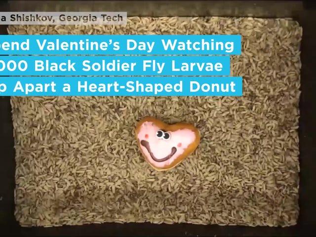 Envie este vídeo de Maggots comendo um donut em forma de coração para o seu amor