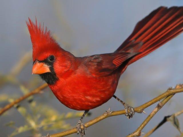 Den nordlige kardinal er faktisk flere arter, beviser foreslår <em></em>