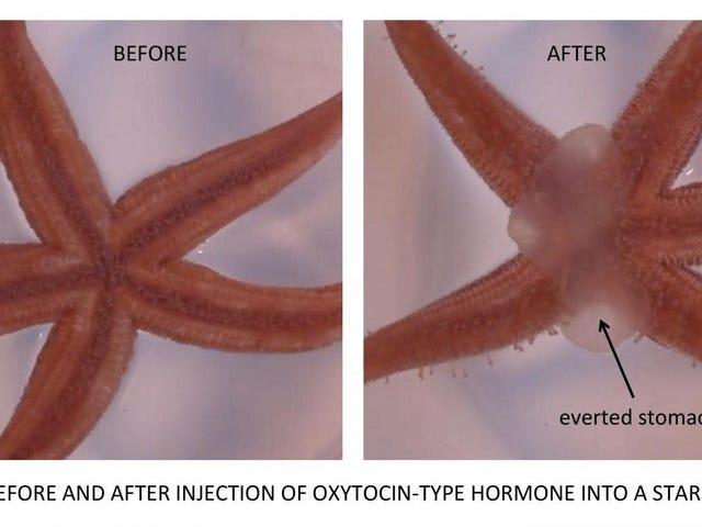 «Гормон любви» помогает некоторым морским звездам перевернуть желудок наизнанку, чтобы поесть
