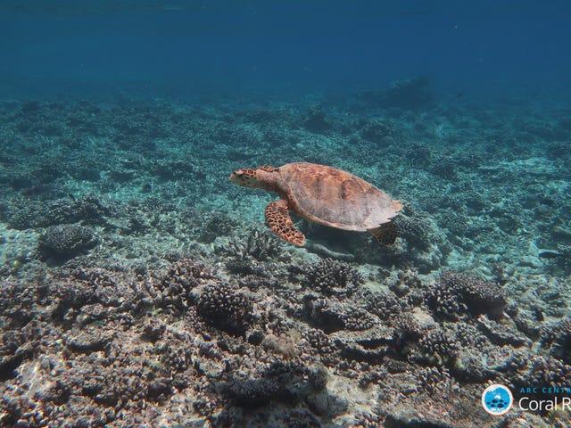 Νέα μελέτη δείχνει «Δεν υπάρχει κοραλλιογενής ύφαλος στη γη είναι ασφαλής» από την αλλαγή του κλίματος