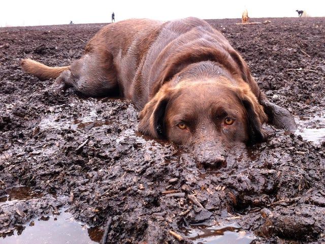 Por qué a los perros les encanta revolcarse en la suciedad, y cómo tratar de evitarlo