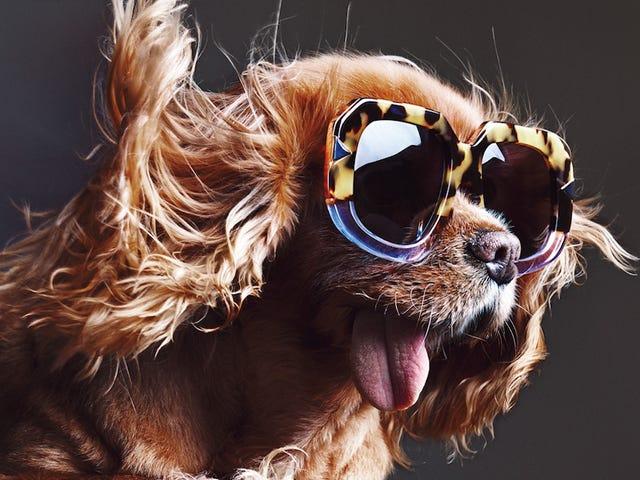 Karen Walker's nyeste kampanjestjerner En bedårende hund som heter Toast