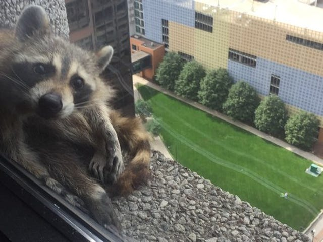 Don't be this raccoon