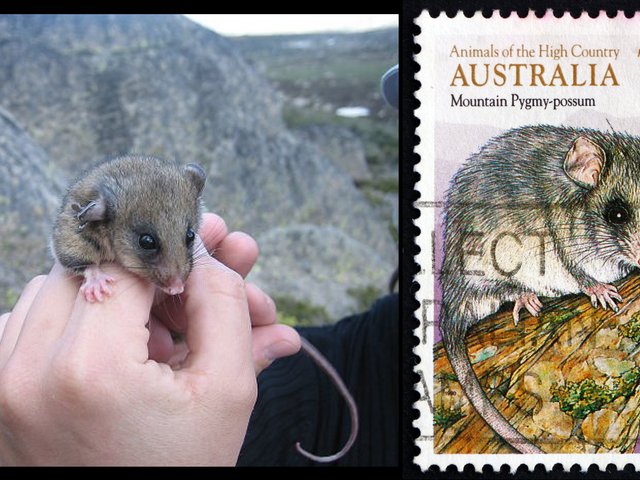 Why This Adorable, Bug-Eyed Marsupial Is in Big Trouble