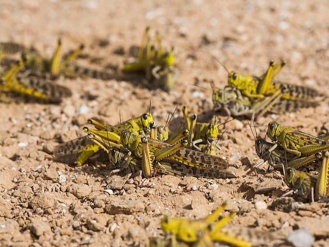 Scientist Wants to Engineer Locusts Into Remote-Controlled Bomb Detectors