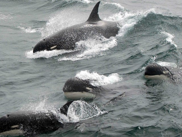 Scientists Capture Rare Footage of Mysterious 'Type D' Killer Whale, Possibly a New Species