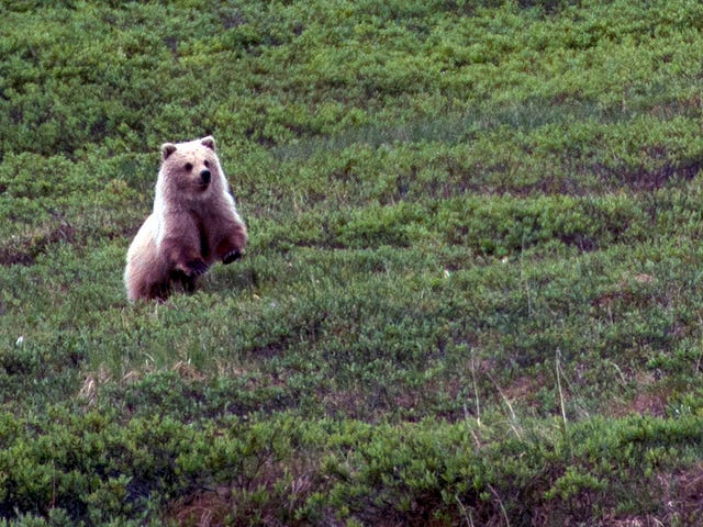 Controversial Grizzly Bear Hunt Officially Canceled