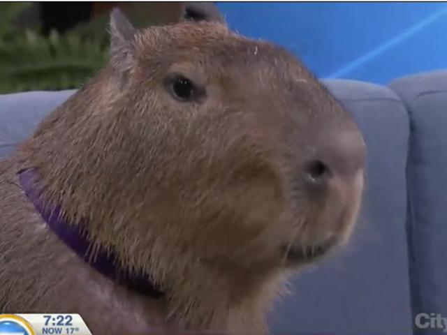 Søndag Nat Social: Watch Willow Capybara Gør spise grønne se cool