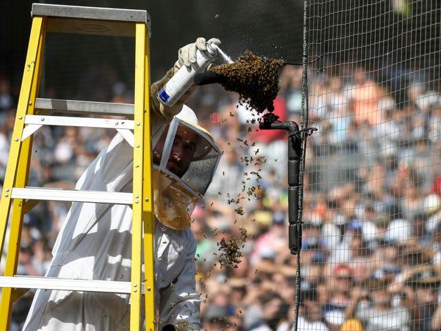 Padres giết rất nhiều ong vì hoàn toàn không có lý do