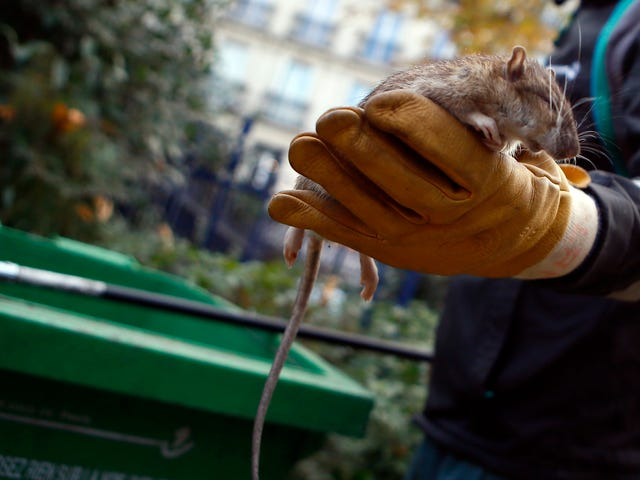 Second Case of Rat Hepatitis in a Human Reported in Hong Kong