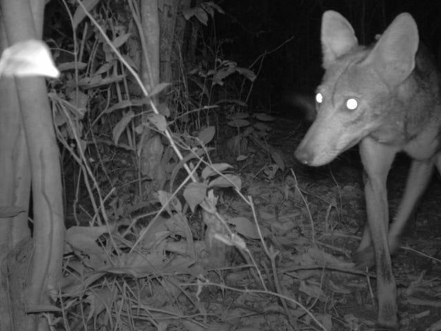 Las capturas de la cámara muestran que los coyotes invasores se dirigen hacia América del Sur