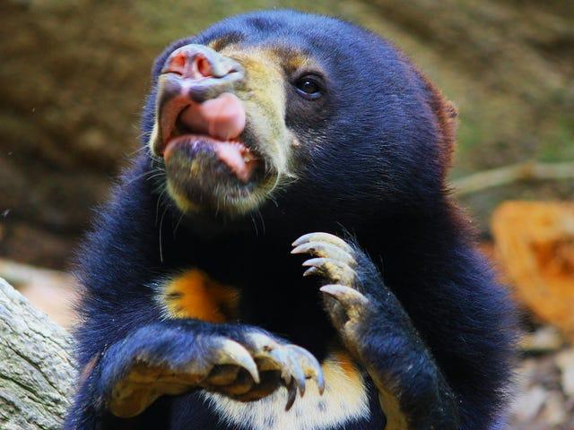 Surprise!  Sun Bears, comme les chiens et les humains, imitent les visages de chacun
