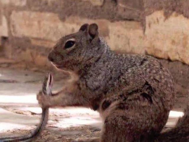 Fotografían a una ardilla devorando una serpiente tras matarla mordiéndola en la cabeza